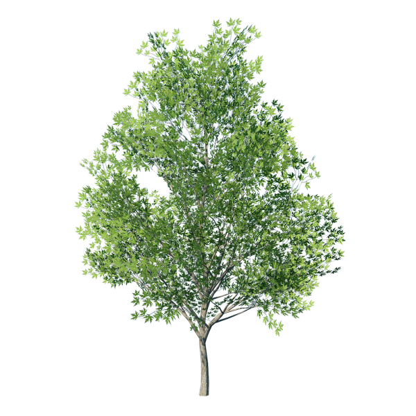 Maple_Tree_Green_1.png